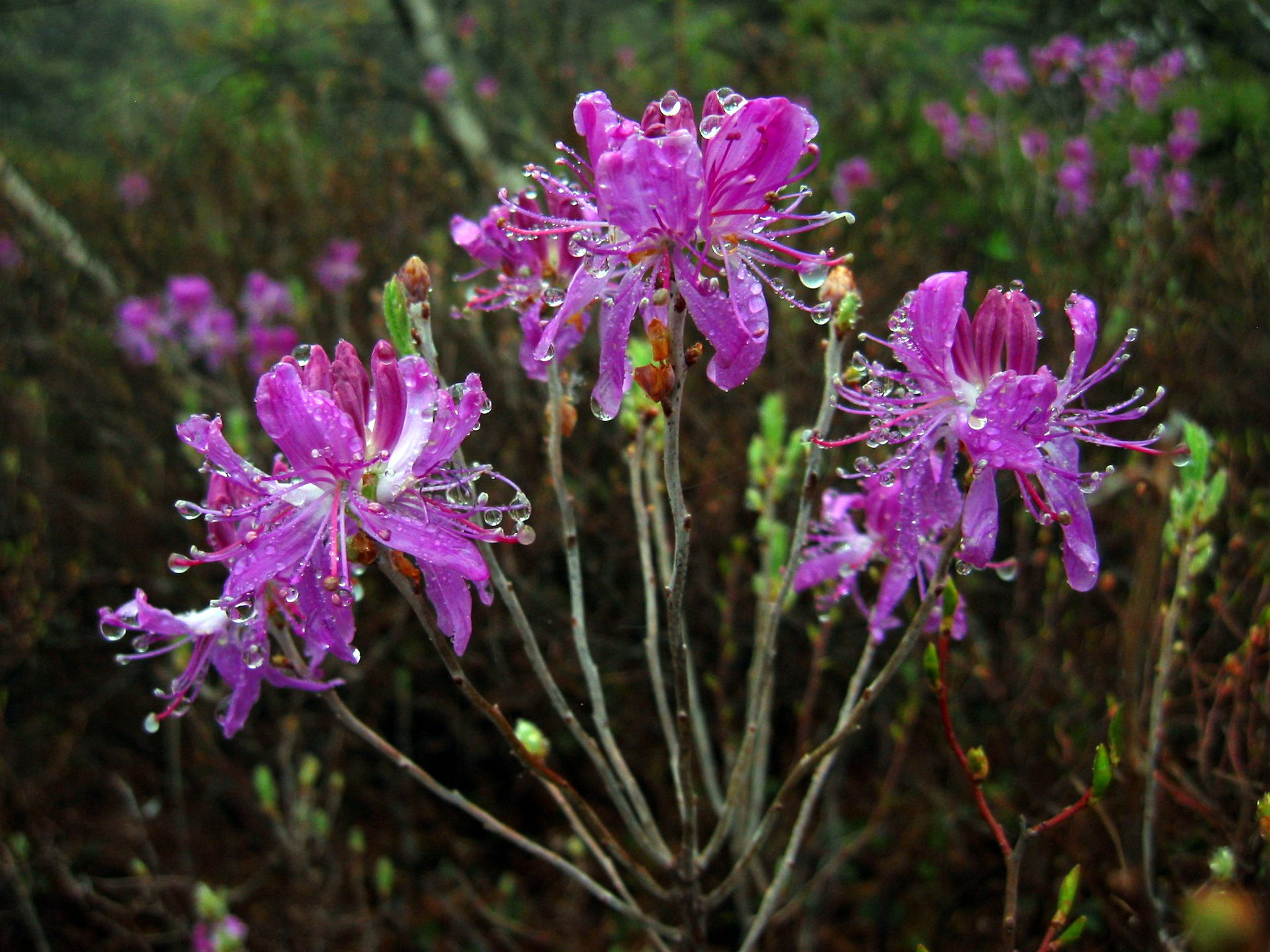 Rhodora (Rhododendron canadense) - this spectacular plant is rare in NY (state-threatened).