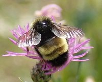 A rare Yellow-banded Bumblebee in Warren County, NY. Photo by Laura Shappell.